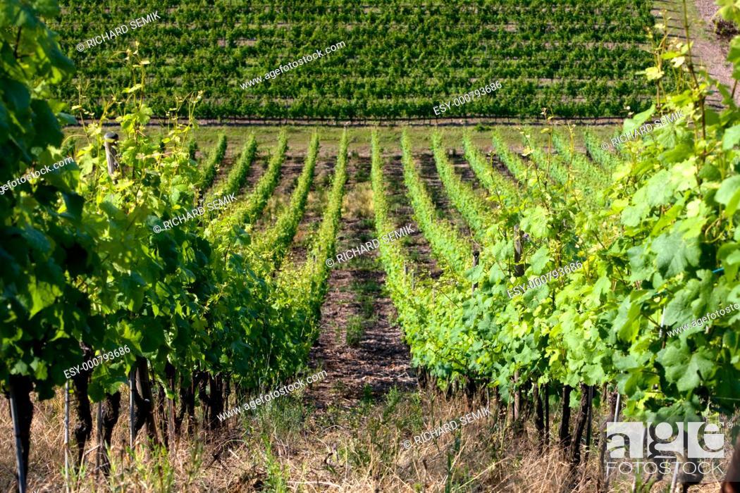 Stock Photo: grand cru vineyard, Thann, Alsace, France.