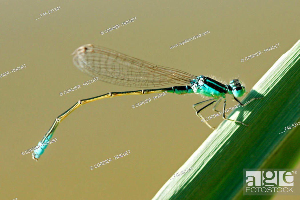 Stock Photo: Damselfly. Aubignan, Provence, France.
