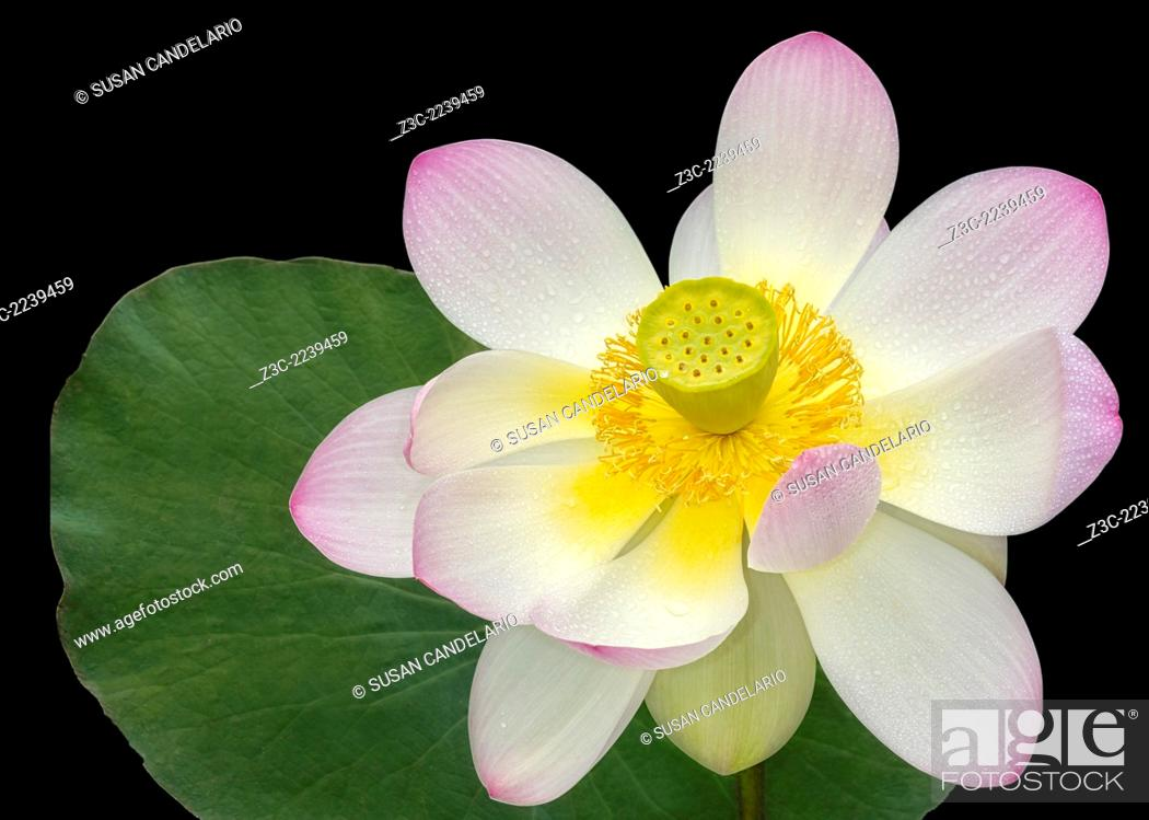 Stock Photo: Isolated pink Sacred Lotus flower (Nelumbo Nucifera) with lily pad against a dark background. The pink Sacred Lotus flower is a beautiful aquatic flowering.