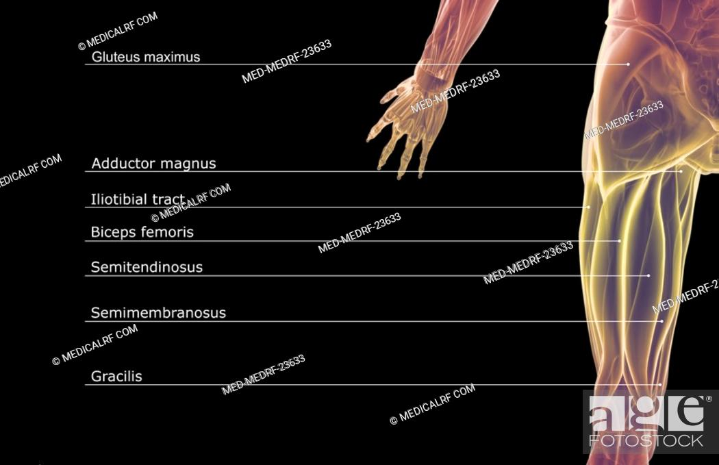Stock Photo: The muscles of the hip.