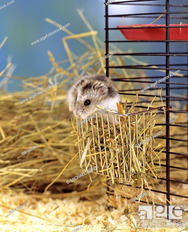 dd34b67c244 Winter White Russian Dwarf Hamster (Phodopus sungorus) · IBR-600865
