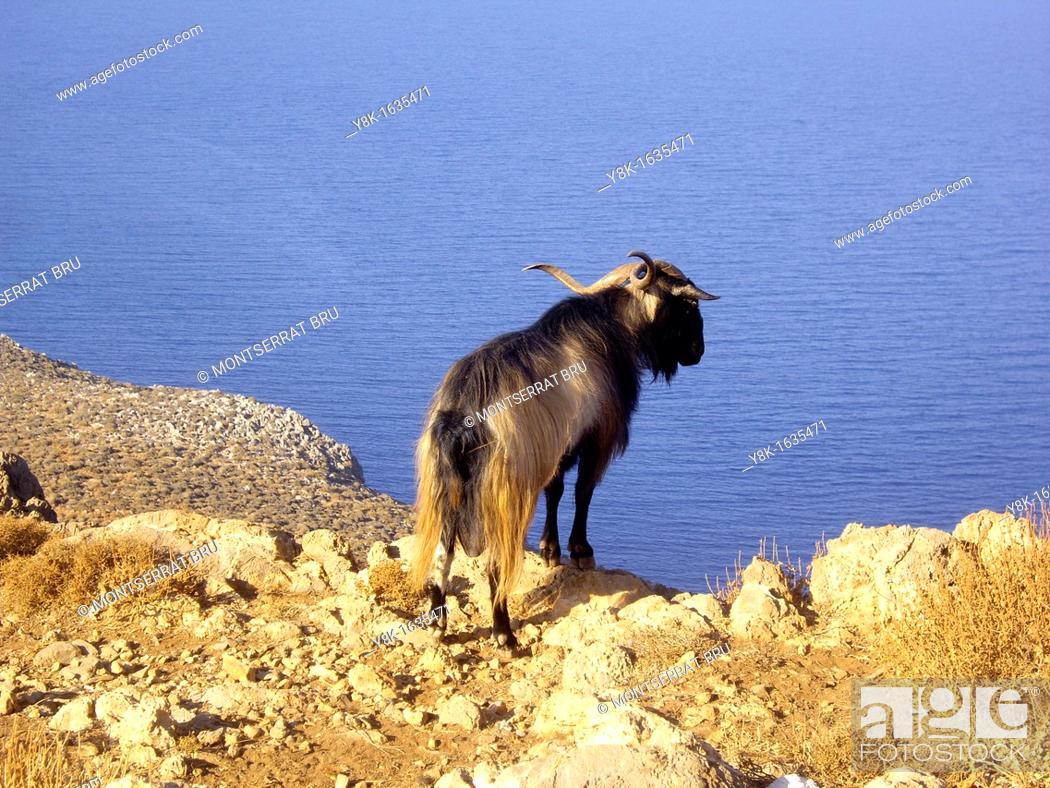 Stock Photo: Long coat goat on top of a cliff in the way to Gramvousa, Crete overlooking the sea below.