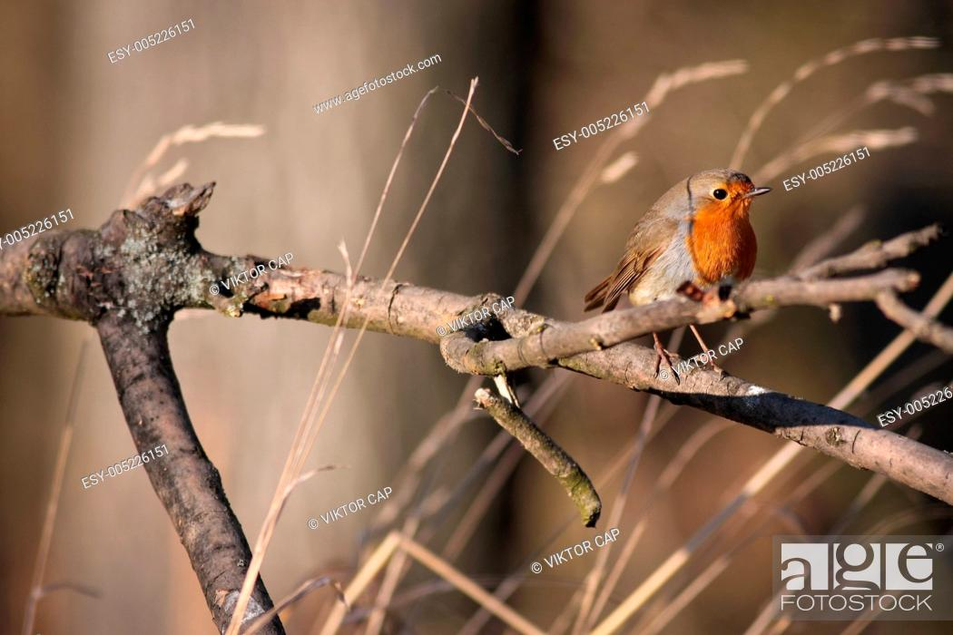Stock Photo: European Robin Erithacus rubecula perched on a branch.