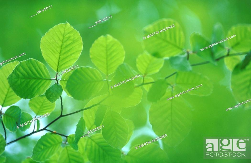 Stock Photo: Beech tree (Fagus sylvatica) leaf in spring. Bavaria, Germany.