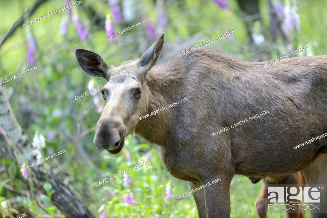 Stock Photo: Eurasian elk (Alces alces) in a forest in early summer.