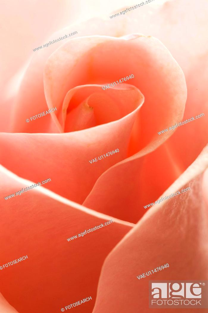 Stock Photo: Close-Up, Flower.
