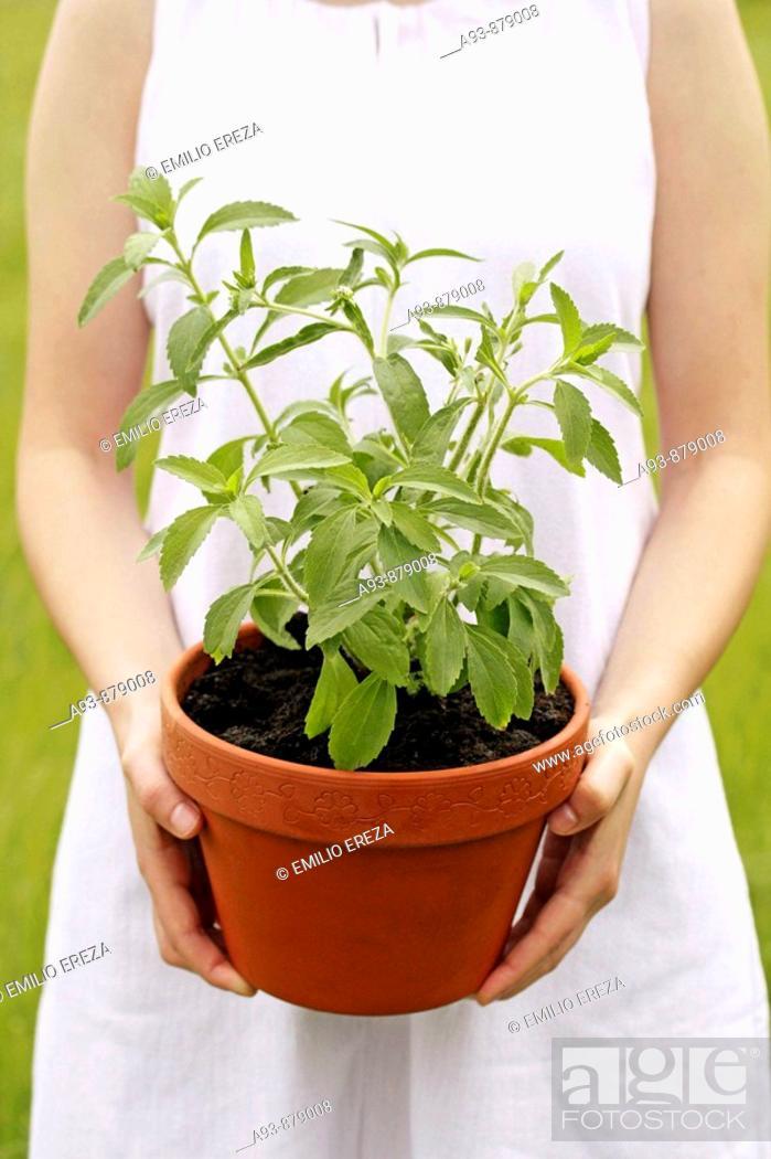 Stock Photo: Sweet plant (Stevia rebaudiana).