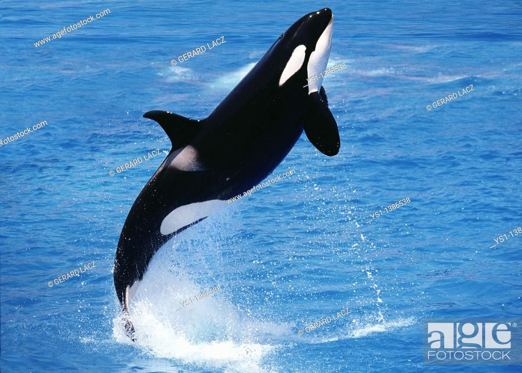 Imagen: Killer Whale, orcinus orca, Adult Breaching.