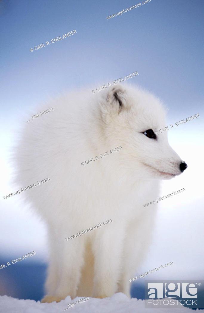 Stock Photo: Arctic Fox in winter snow (controlled / captive animal), Alopex lagopus, Vermont, USA.