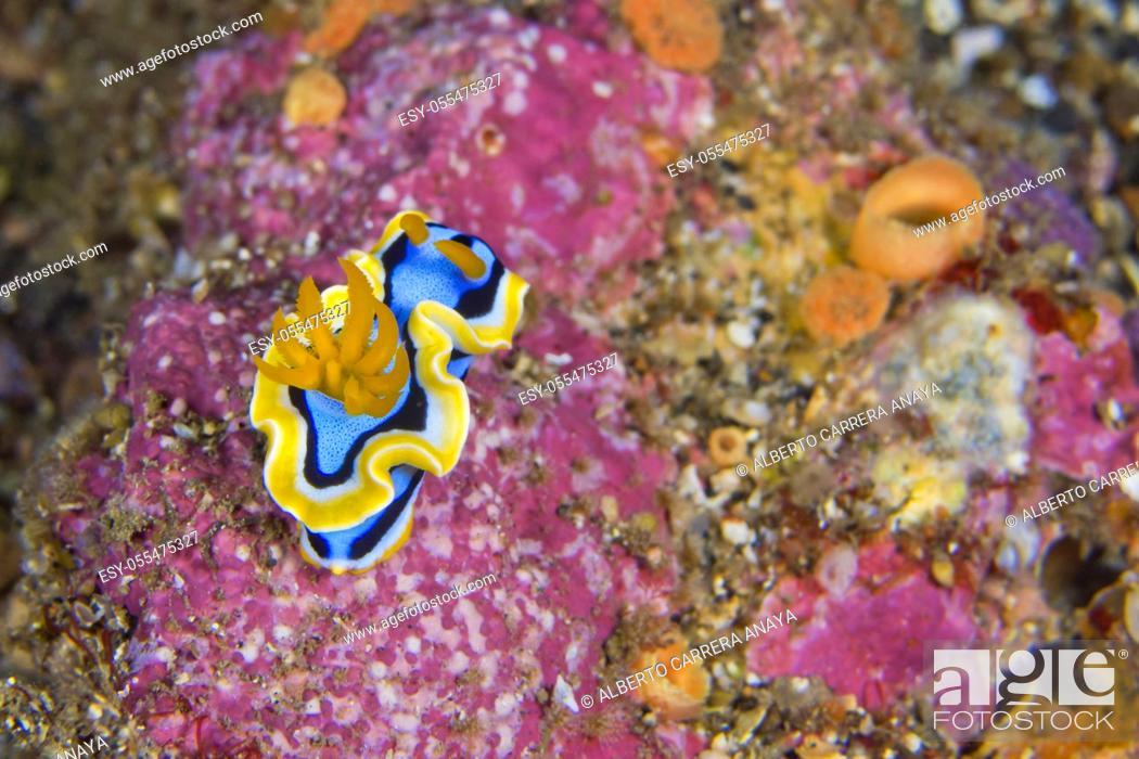 Imagen: Sea Slug, Dorid Nudibranch, Elisabeth's Chromodoris, Chromodoris elisabethina, Lembeh, North Sulawesi, Indonesia, Asia.