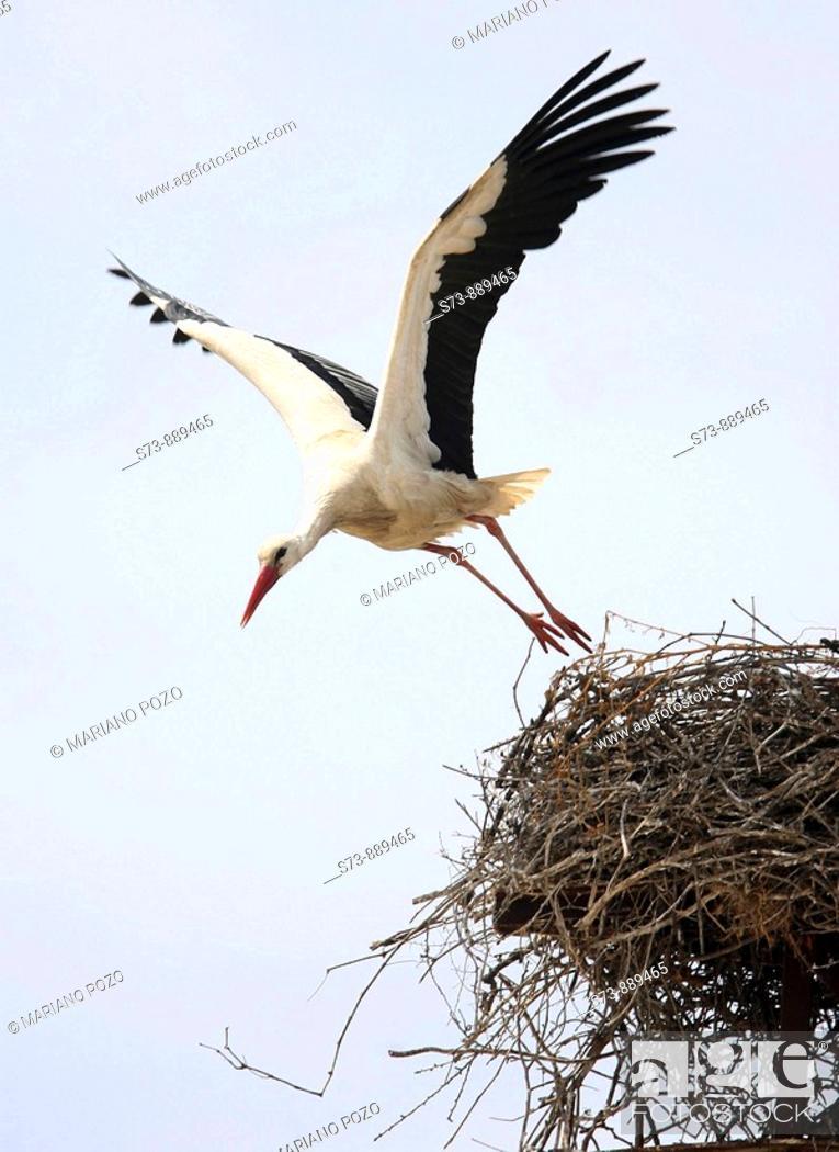 Stock Photo: White Storck in Cádiz (Andalusia), Cigüeña Blanca, Ciconia ciconia.