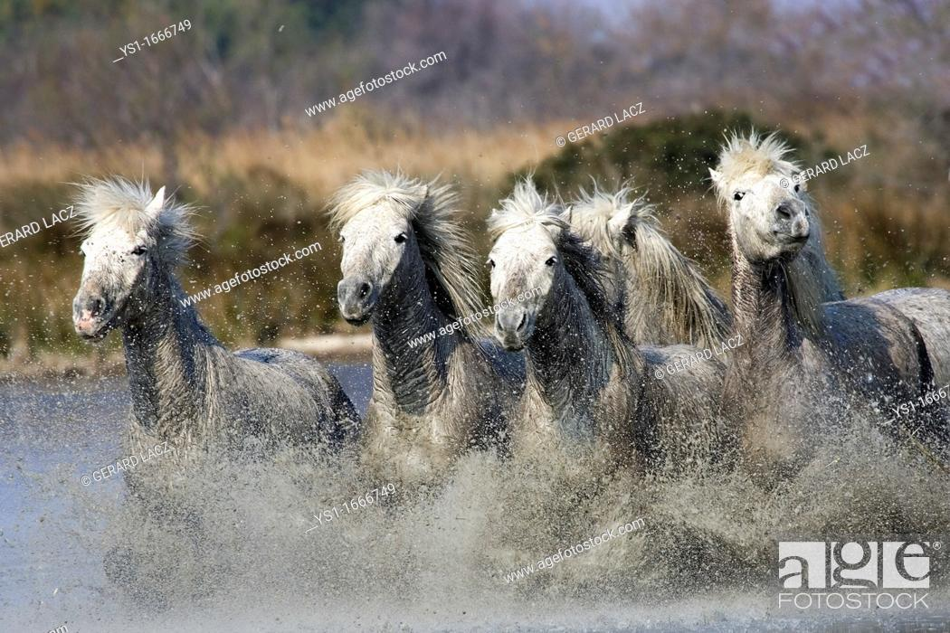Stock Photo: Camargue Horse, Herd Galloping in Swamp, Saintes Marie de la Mer in South East of France.