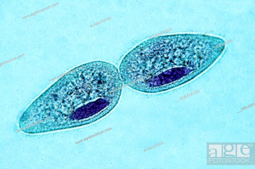 Stock Photo: Paramecium, Protozoa, Ciliophora, unicellular ciliate, freshwater environments, 400 X  optical microscope, photomicrography , protozoan.