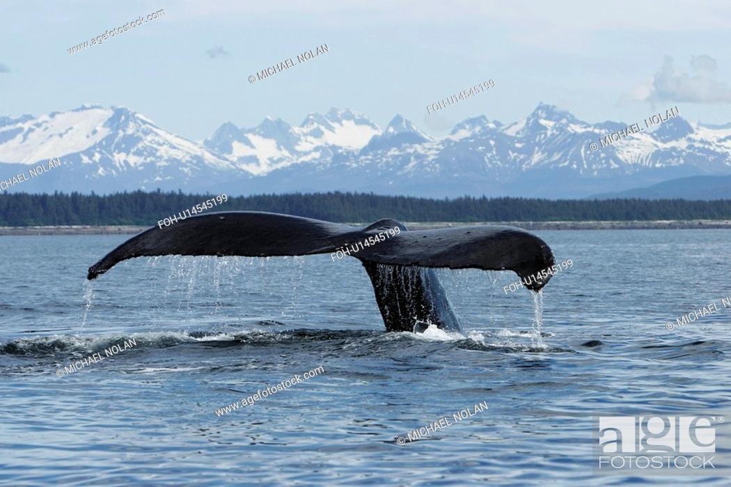 Stock Photo: Adult Humpback Whale Megaptera novaeangliae fluke-up dive in Southeast Alaska, USA. Pacific Ocean.
