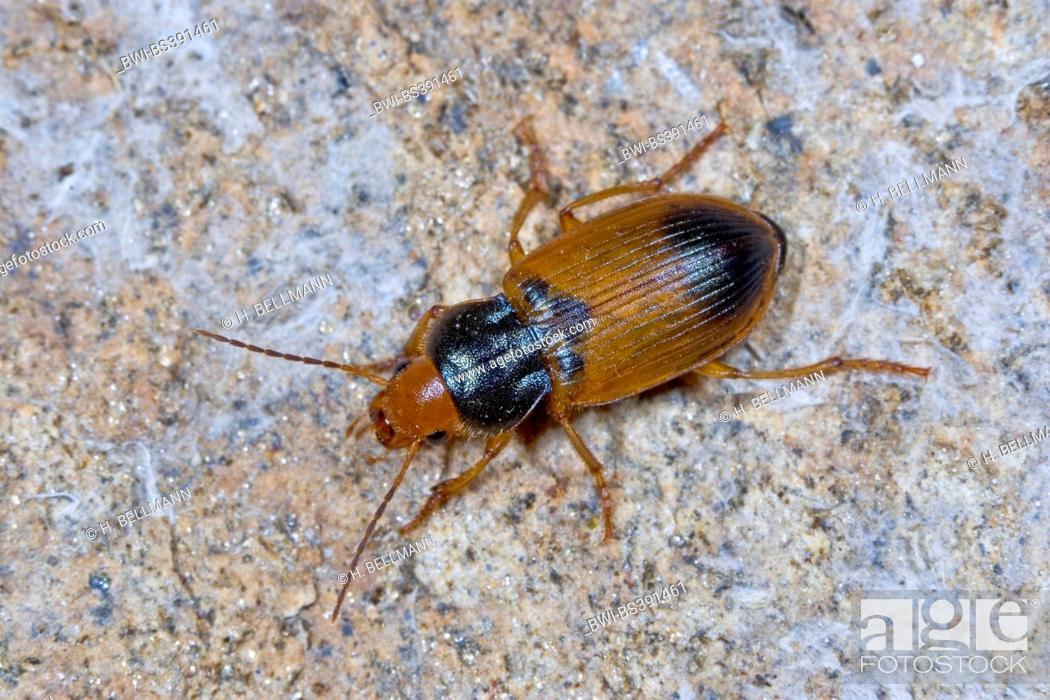 Ground beetle (Diachromus germanus), on a stone, Germany