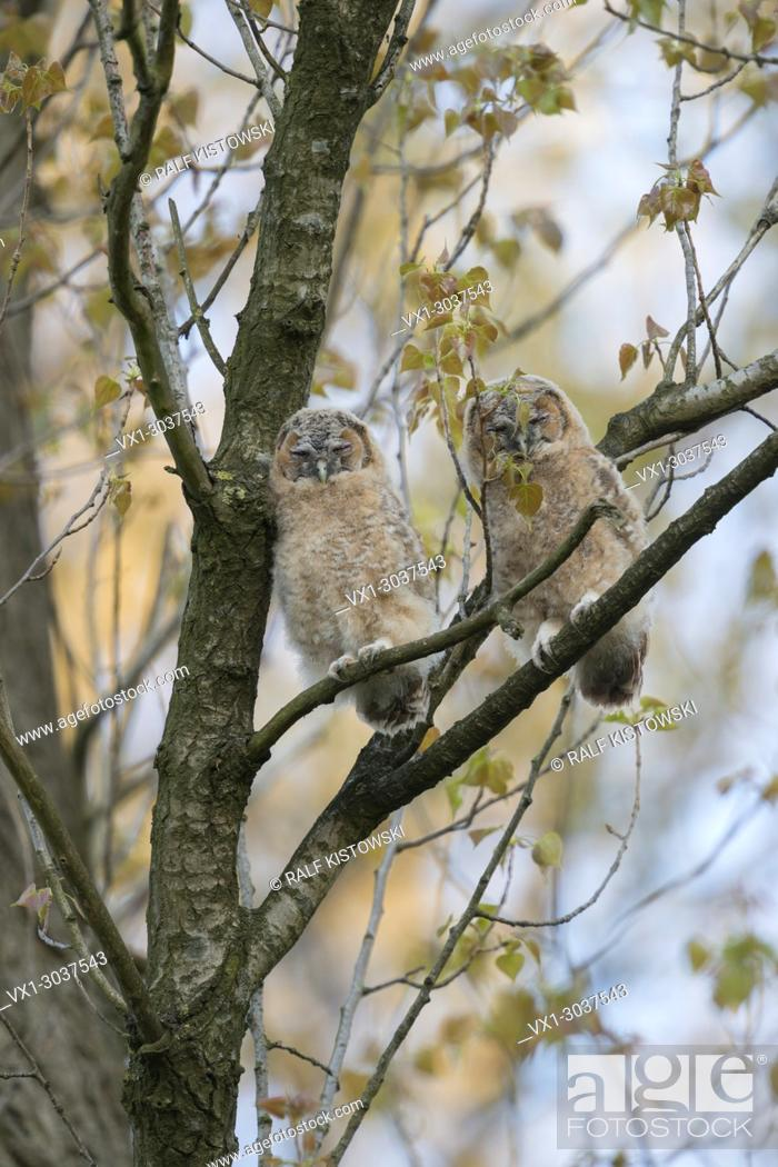 Stock Photo: Tawny Owl / Owls ( Strix aluco ), two fledglings, perched high up in a tree, sleeps, daydreaming, wildlife, Europe.