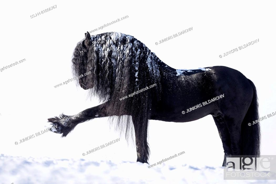 Friesian Horse Black Stallion Performing The Spanish Walk In Snow Germany Stock Photo Picture And Rights Managed Image Pic Ssj H 81056767 Agefotostock