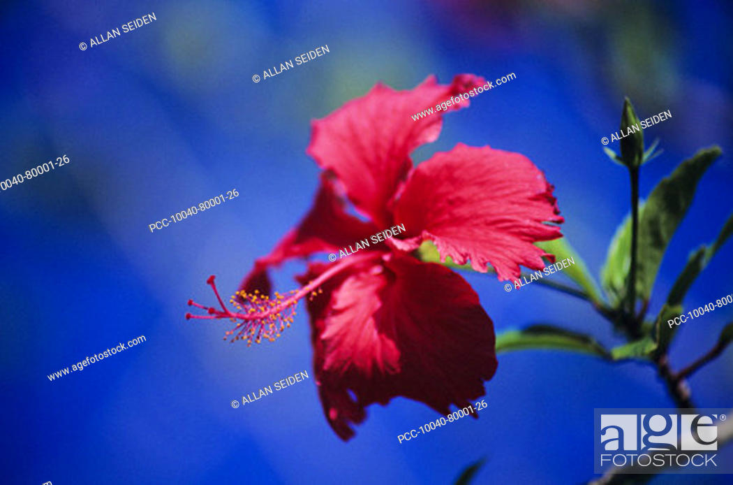 Stock Photo: Close-up of red hibiscus with blue sky in background.