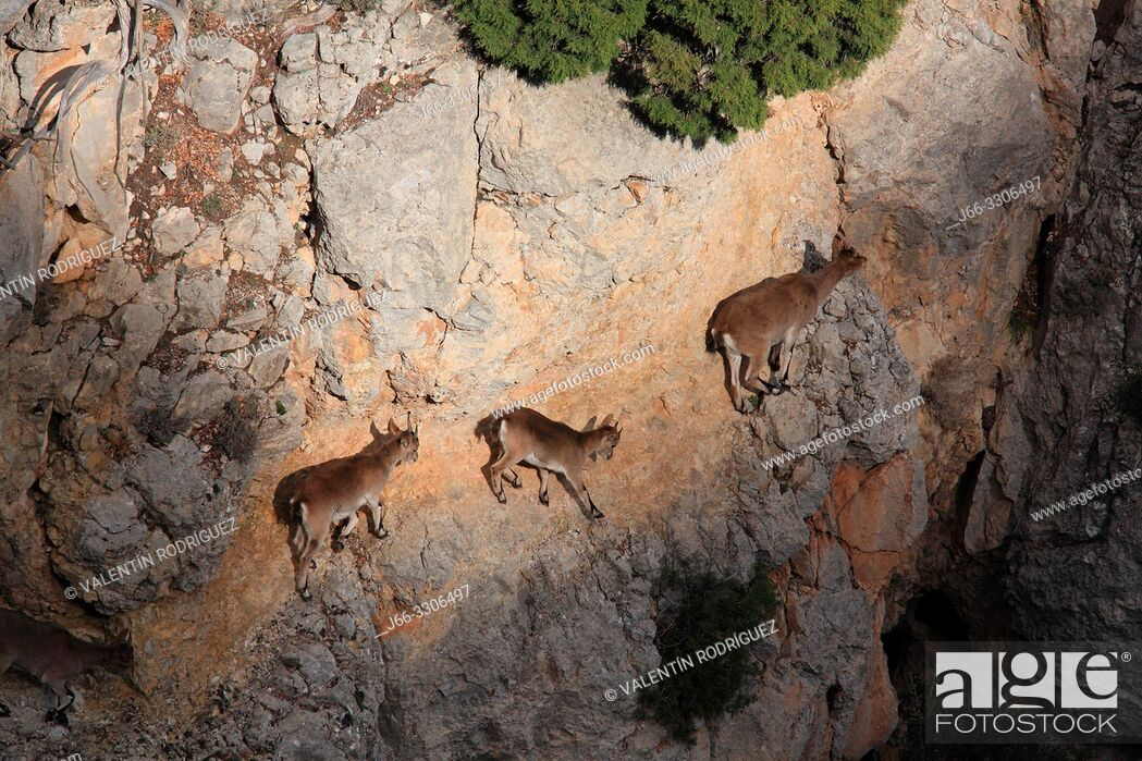 Stock Photo: Mountains goats (Capra hispanica). A female and young walk on a vertical wall. Sierra Javalambre. Teruel. Spain.