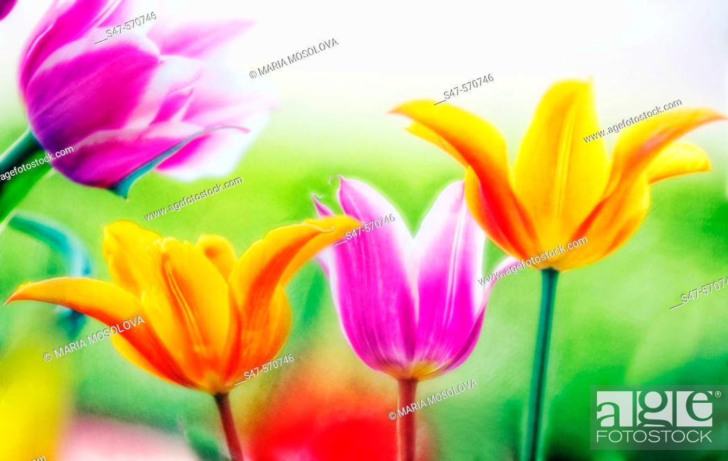 Photo de stock: Tulipa hybrid, April 2006. Maryland, USA.