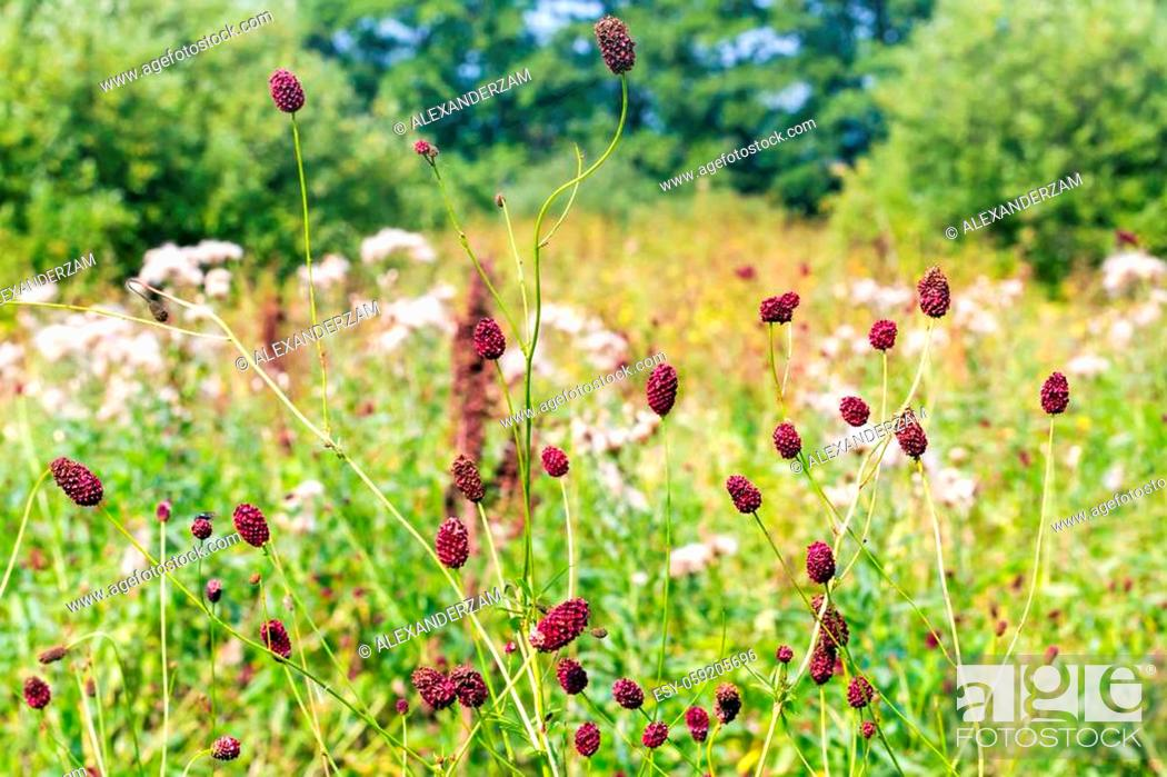 Stock Photo: Sanguisorba officinalis herbs with red inflorescences closeup.