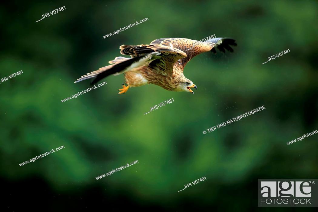 Stock Photo: Red Kite, (Milvus milvus), adult flying and calling, Eifel, Germany, Europe.