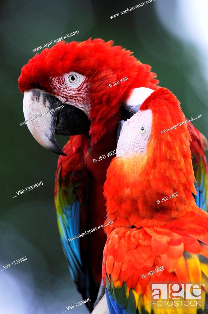 Stock Photo: A pair of Red-and-green Macaws aka Green-winged Macaws (Ara chloropterus) grooming, Jurong Bird Park, Singapore.