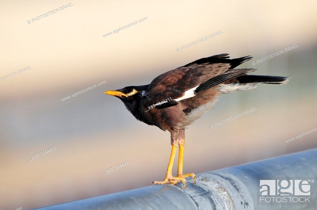 Stock Photo: Common myna or Indian Myna Acridotheres tristis  This bird is native to southern Asia from Afghanistan to Sri Lanka  The Myna has been introduced in many other.