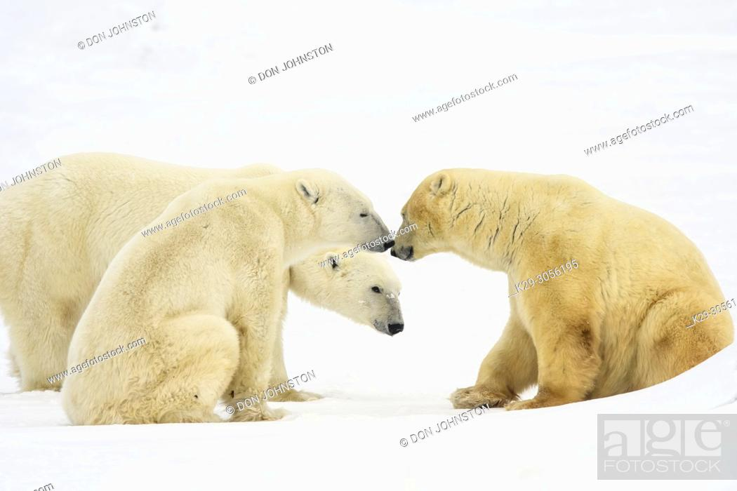 Stock Photo: Polar Bear (Ursus maritimus) Group of large males interacting, Wapusk NP, Cape Churchill, Manitoba, Canada.