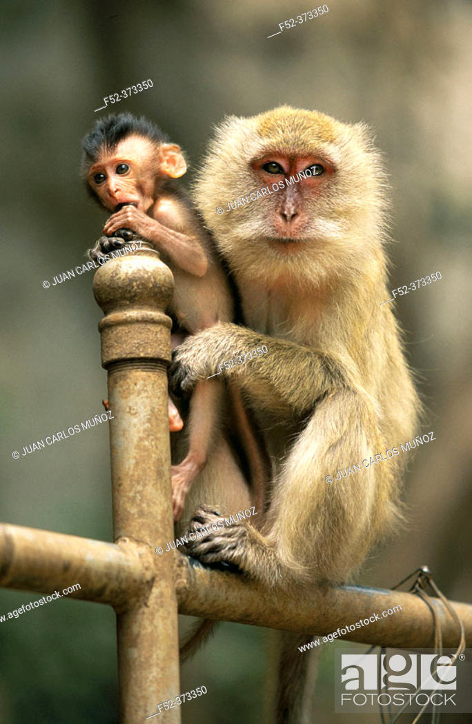 Stock Photo: Monkey with baby.