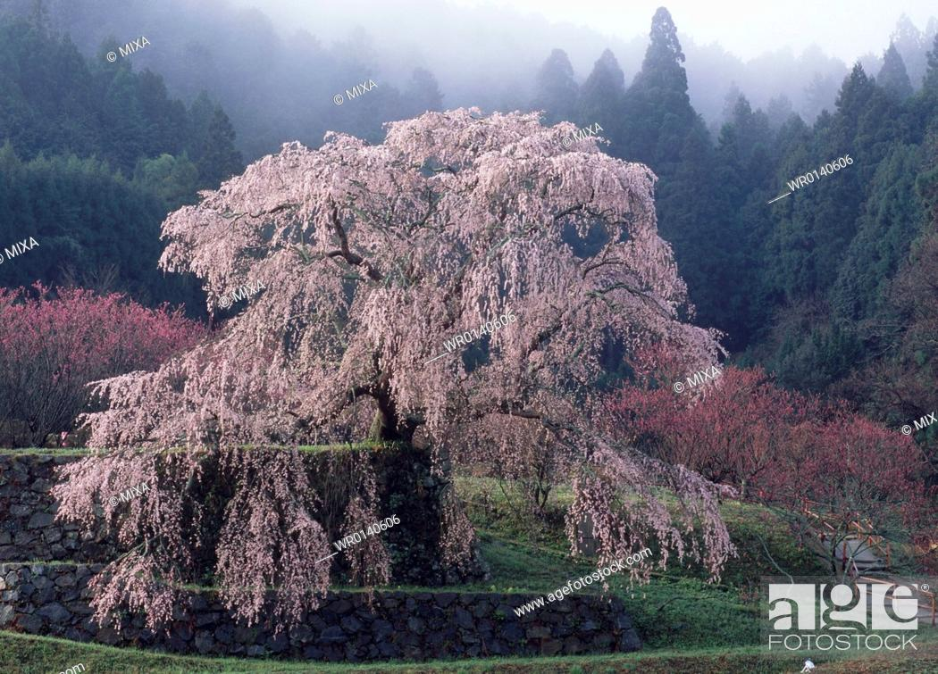 Stock Photo: Matabei Cherry, Uda, Nara, Japan.