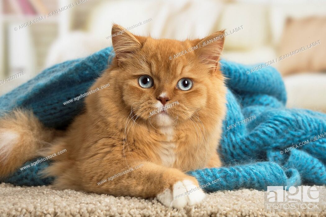 Stock Photo: Ginger Alley cat indoors.