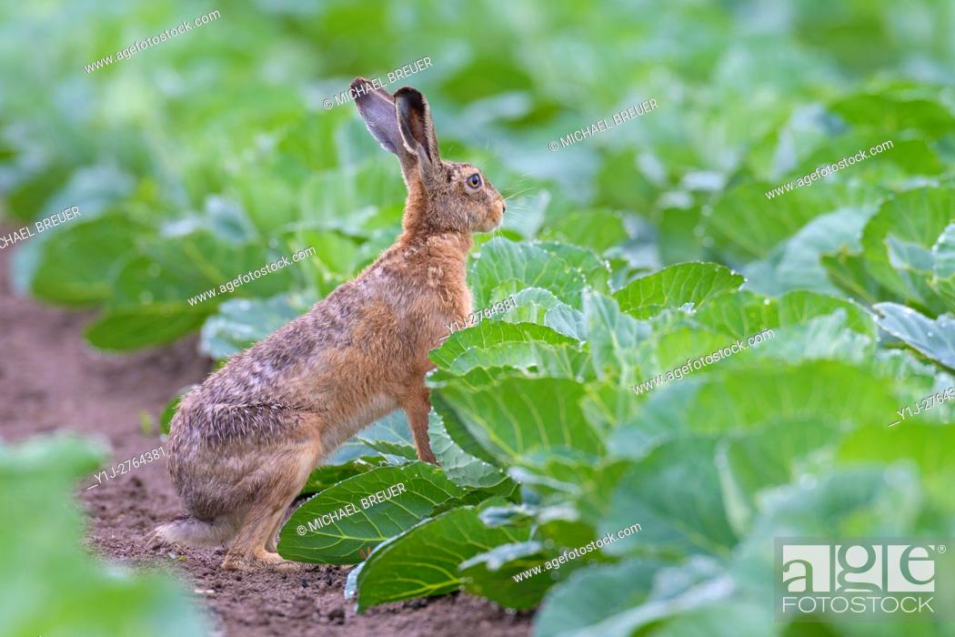 Stock Photo: European Brown Hare (Lepus europaeus) in Green Cabbage Field, Summer, Hesse, Germany, Europe.