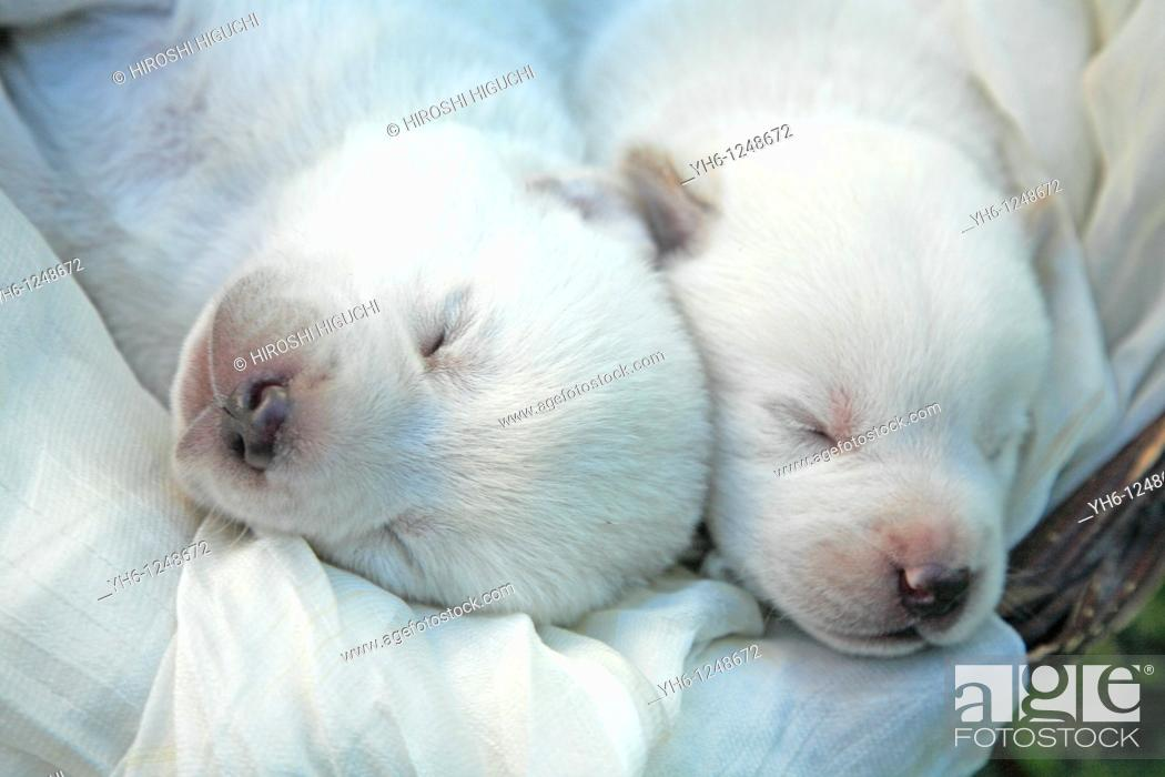 Stock Photo: Brazil, Rio Grande do Sul, Novo Hamburgo, sleeping two Labrador retriever puppies.