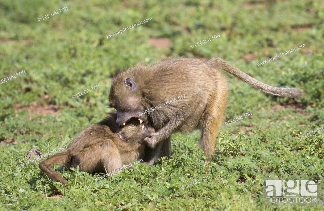Stock Photo: Yellow baboon (Papio cynocephalus) fighting, Lake Manyara National Park, Tanzania.