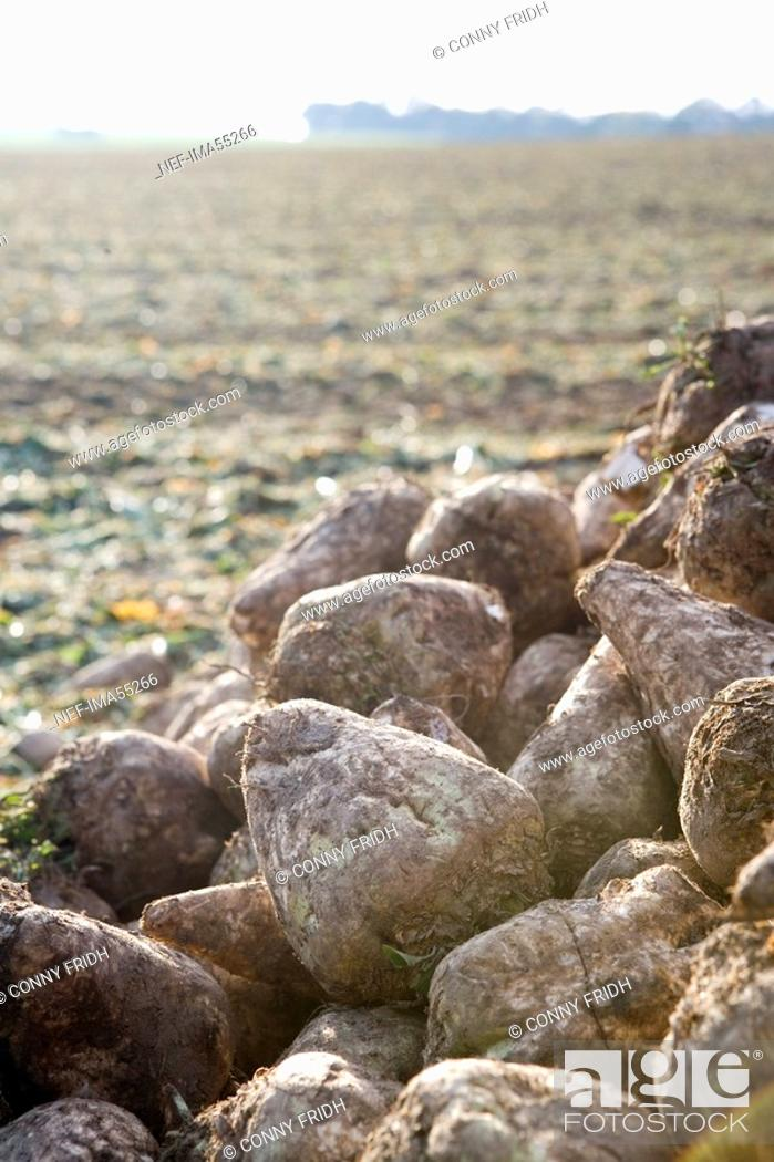 Stock Photo: Sugar beets on a field Sweden.