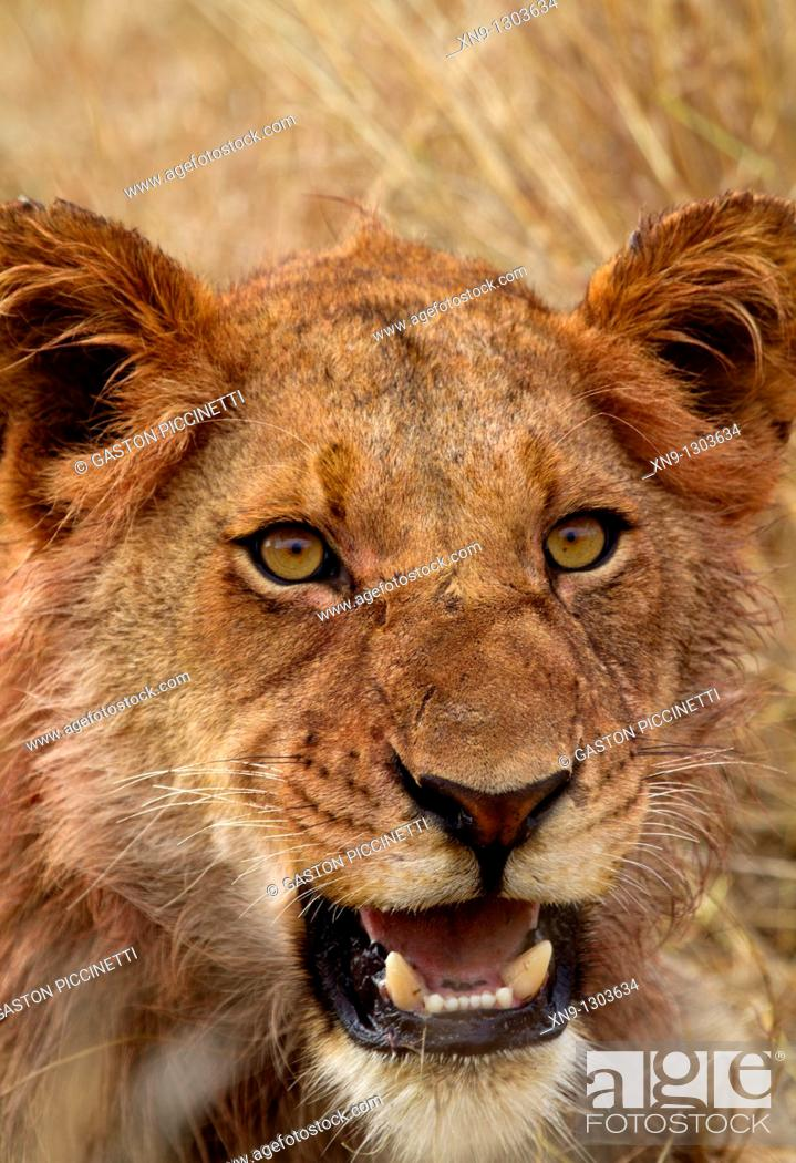 Stock Photo: African Lion (Panthera leo), young, after eating, Kruger National Park, South Africa.