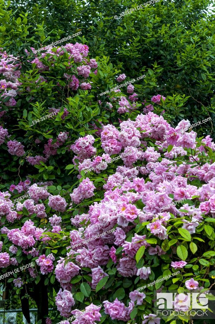 Stock Photo: Climbing rose in full bloom in a garden.