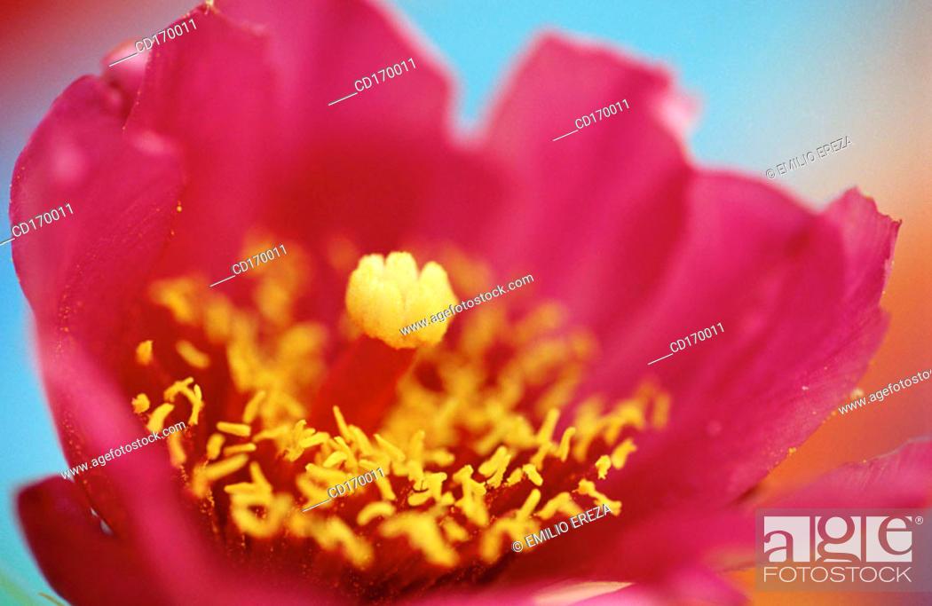 Stock Photo: Opuntia sp.