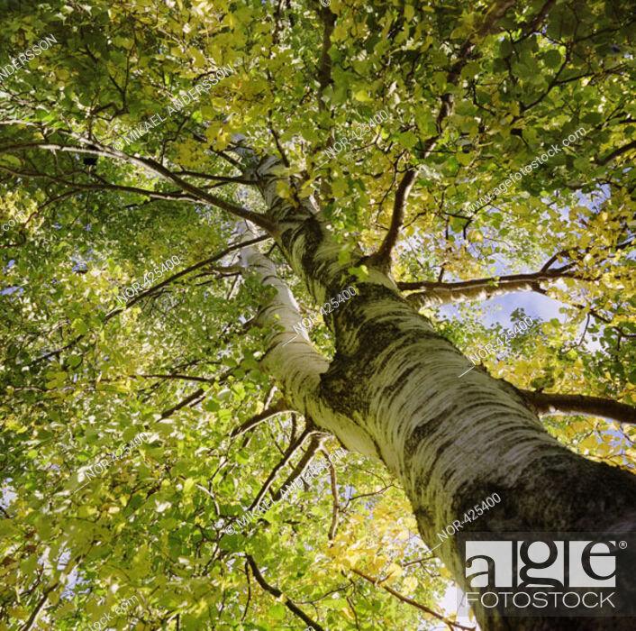 Stock Photo: A birch  Sweden.
