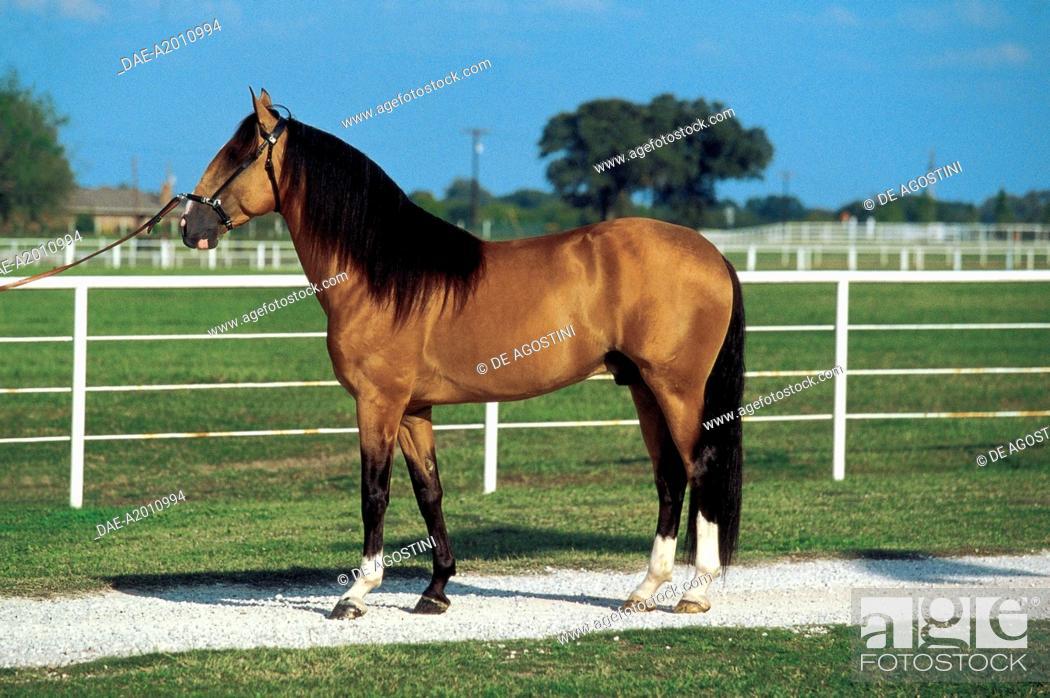 Stock Photo: Lusitano horse (Equus caballus), Equidae.