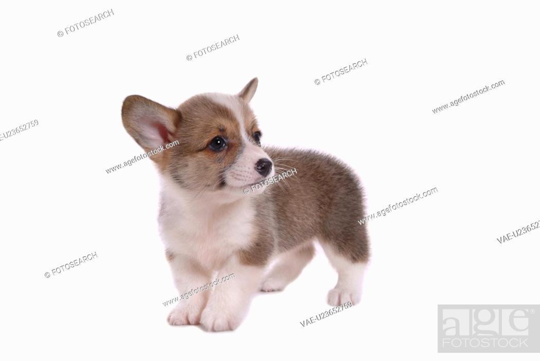 Stock Photo: canines, animal, domestic, corgi, dog, puppy, pet.