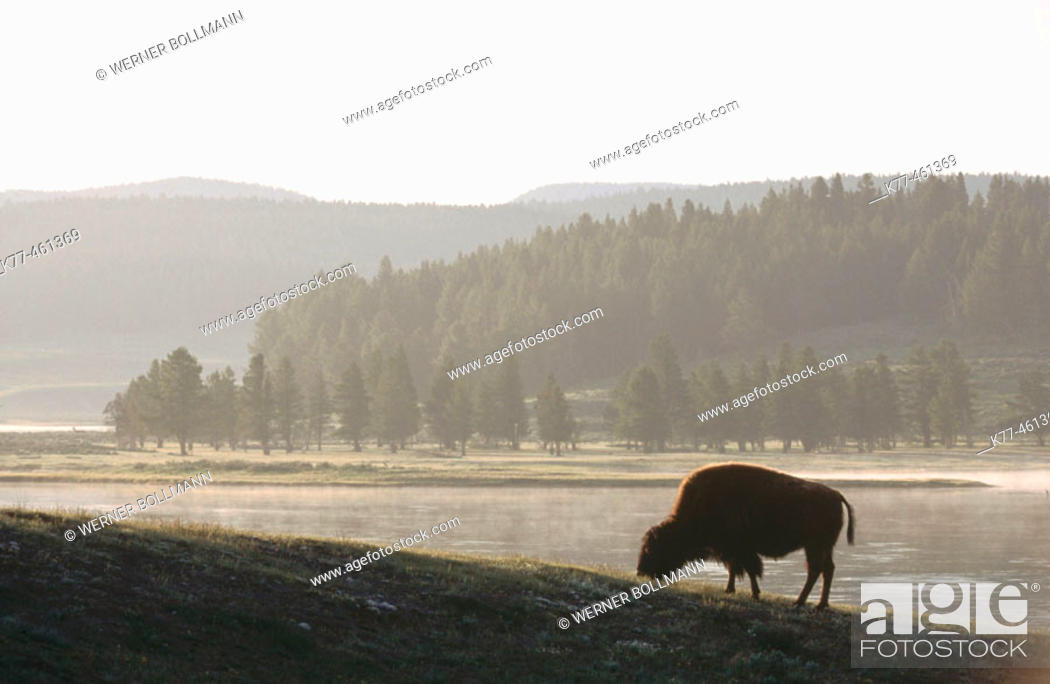 Stock Photo: American Bison (Bison bison), female. Yellowstone River. Wyoming. USA.