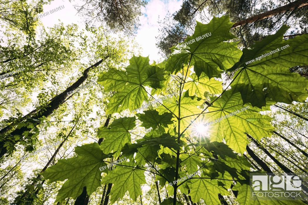 Stock Photo: Bottom View Of Sunshine Through Spring Green Maples Foliage. Sun Sunrays Shine Through Fresh Vegetation And Maple Branches Leaves. Summer Sunny Day.