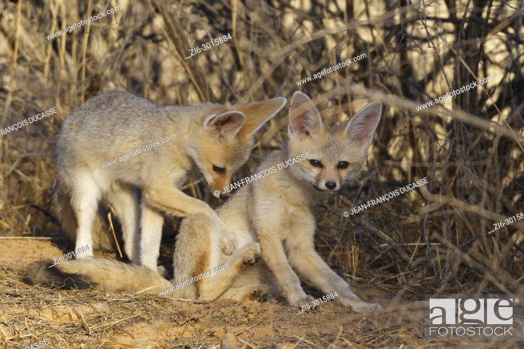 Stock Photo: Young Cape foxes (Vulpes chama) at den, early in the morning, Kgalagadi Transfrontier Park, Northern Cape, South Africa, Africa.