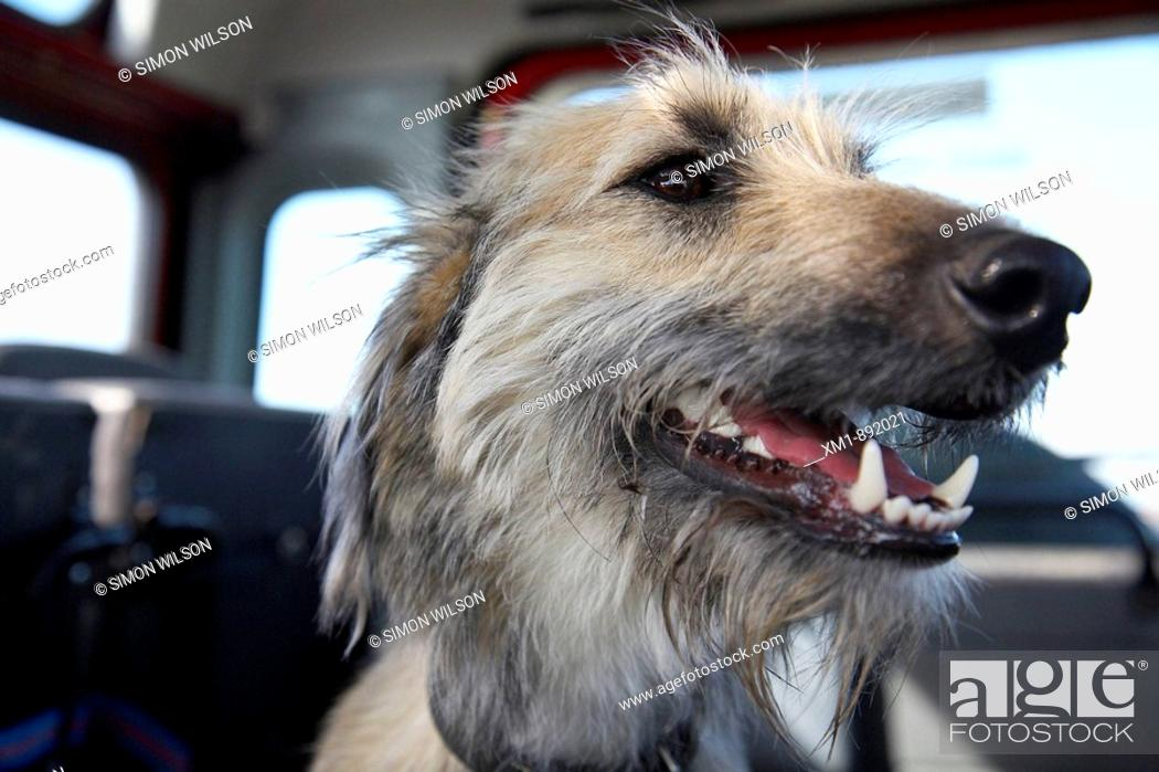 Stock Photo: Close-up of dog in the back of a car.
