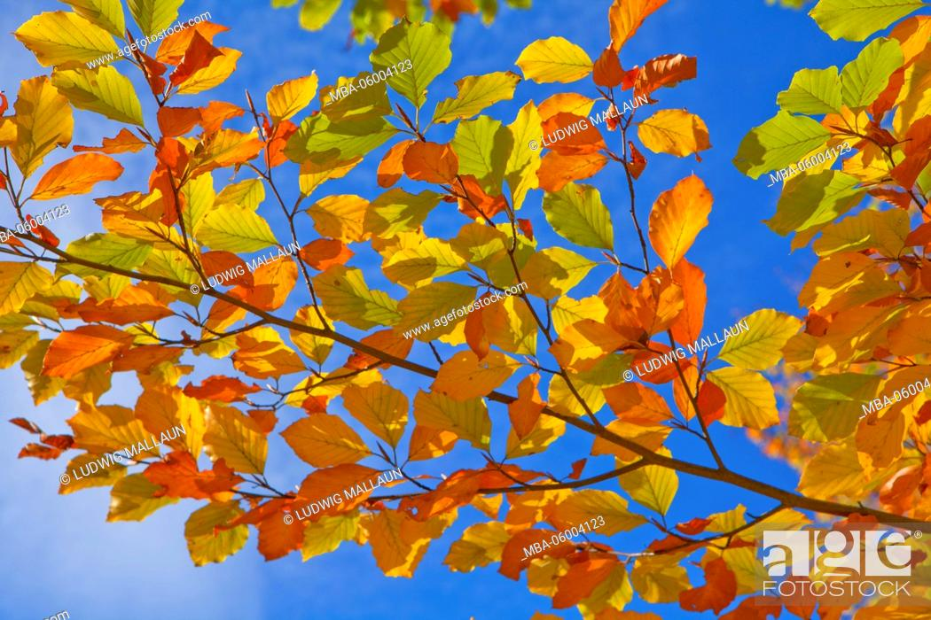 Stock Photo: beech branch, beech leaves.