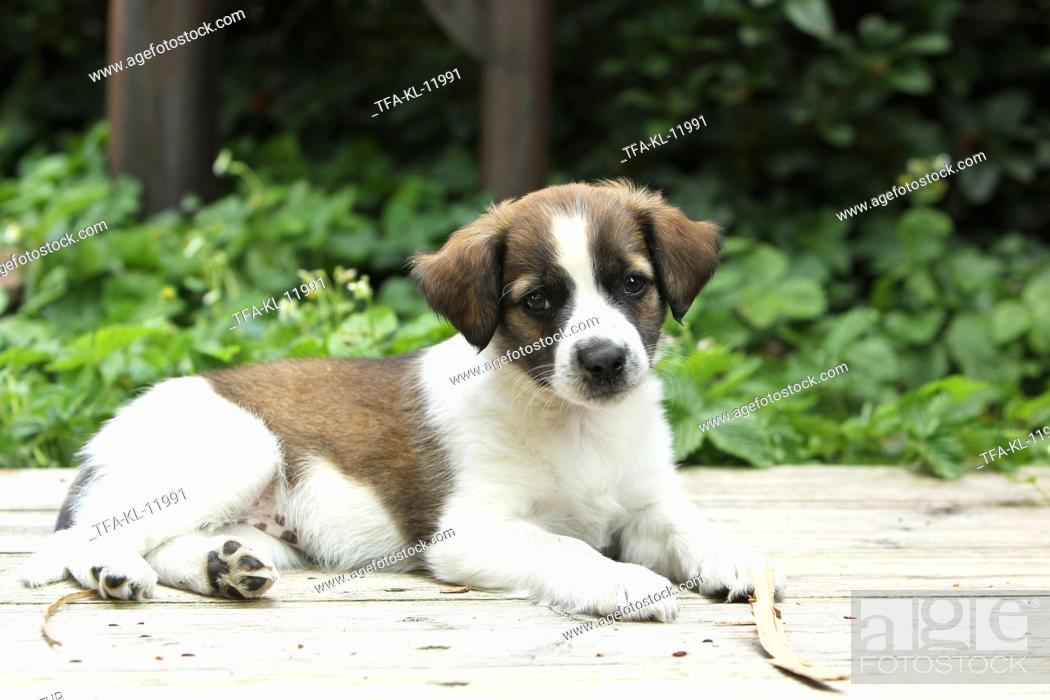 Stock Photo: Kromfohrlaender Puppy.