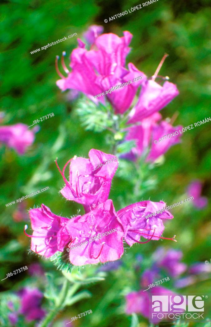 Stock Photo: Paterson's Curse (Echium plantagineum).