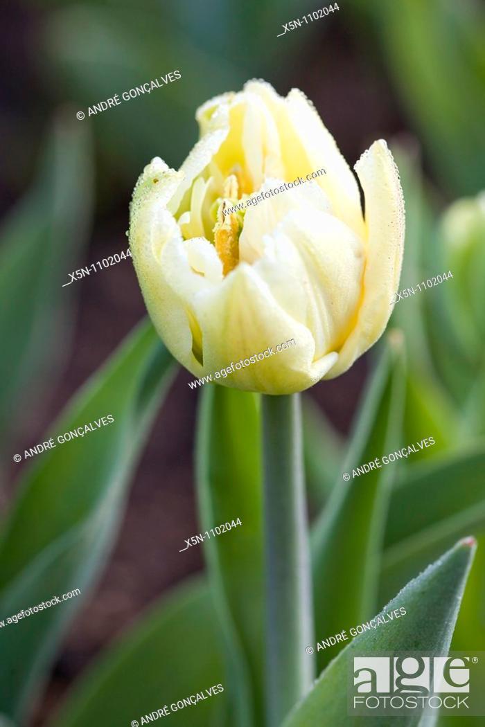 Stock Photo: Yellow Flower, Netherlands.